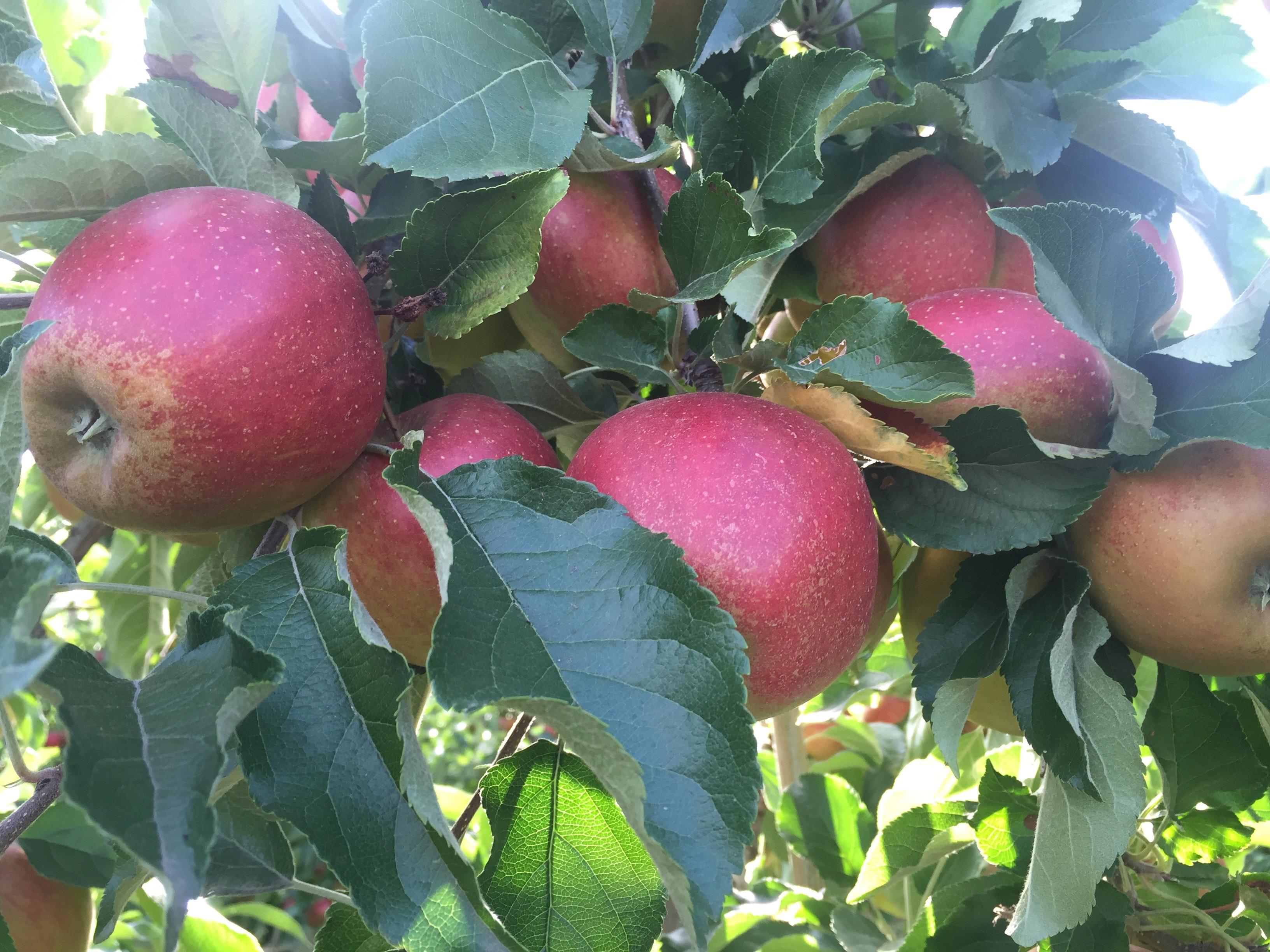 Rote reife Äpfel am Baum